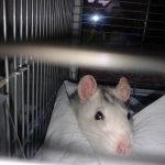 Ratte2_big